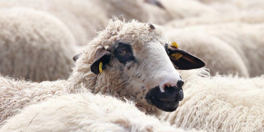 svensk ull blir kardflor